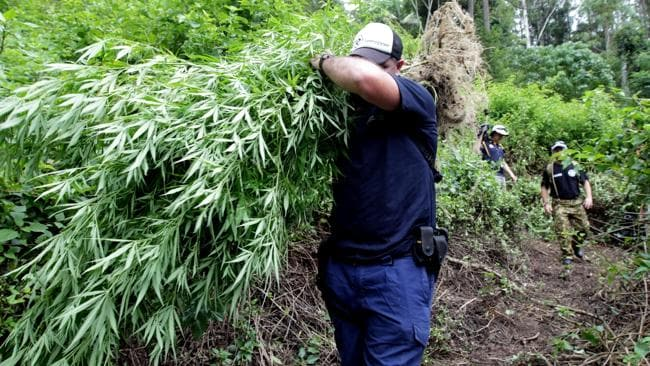 Officers from the NSW Drug Squad conduct the 2014 Cannabis Eradication Program (CEP) near Uki on the NSW far north coast / Picture: Nathan Edwards