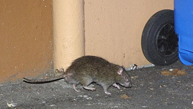 Rat Plague In Sydney S Booming Cafe And Rental Market