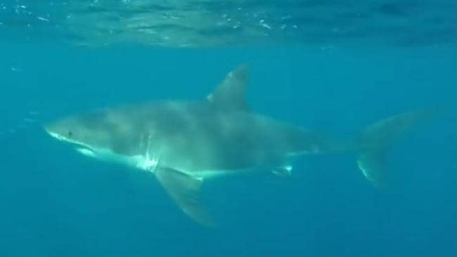 A great white shark was filmed just 500m from the northern beaches short. Picture: Cam Sutherland.