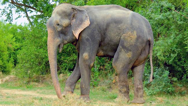 Raju the elephant takes his first steps to freedom, after 50-years in chains. Credit: Press People/Wildlife SOS