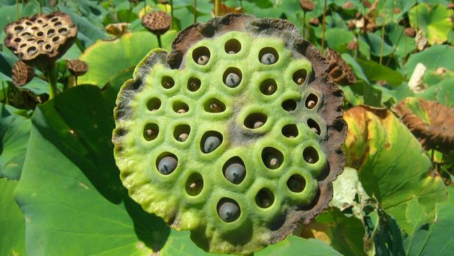 the science of trypophobia Up to 15% of people (18% of females and 11% of males) become viscerally upset after looking at images of clustered holes or bumps, according to research on the.
