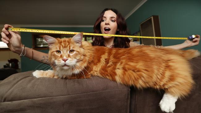 stephy hirsts maine coon cat omar might be the longest cat in the world picture alex coppel - Biggest Cat In The World Guinness 2017