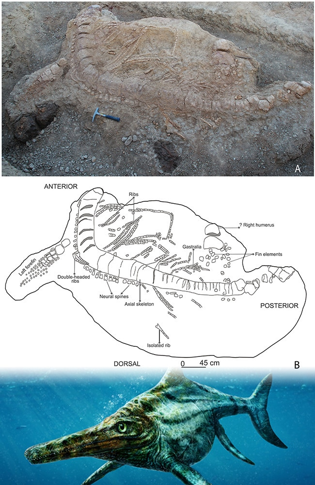 Field photograph (A) accompanied with a sketch (B) of the excavated ichthyosaur skeleton in the Katrol Formation near Lodai village, Kachchh, India. Picture: Guntupalli V.R. Prasad et al
