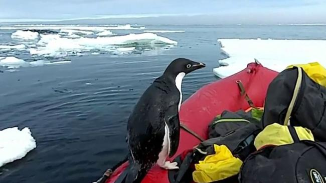 Penguin pops in for a visit in Antarctic ice