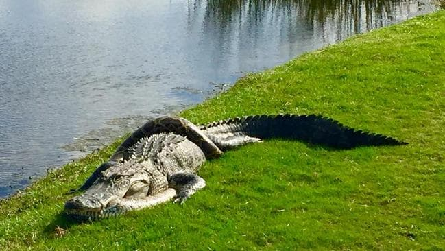The two reptiles were seen tangled together on the golf course. Picture: Richard Nadler/Facebook