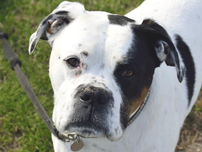 Terriers are popular breeds to use in dog fighting.