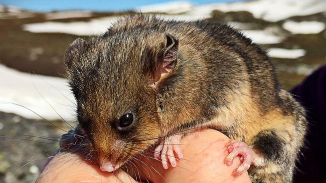 The mouse-sized mountain pygmy possum's numbers have swelled to beyond 3000 in the alpine regions of Victoria and NSW