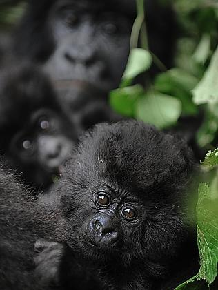 Endangered ... baby gorillas play near a female in a clearing on the slopes of Mount Mikeno in the Virunga National Park. The gorillas' habitat has long been a war zone. Picture: Roberto Schmidt