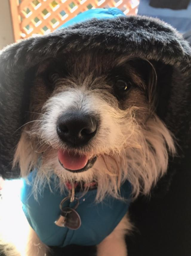 Tiny Tim: Tiny Tim is in da hood! The stylish hound knows how to handle those chilly mornings.
