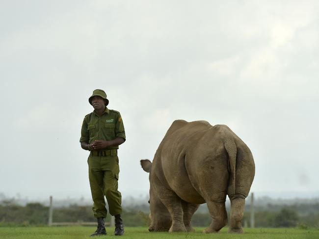 James Mwenda, one of the dedicated rhino care givers at the ol-Pejeta conservancy, stands next to Najin, one of the only two remaining female northern white rhinos, in their paddock on March 20, 2018 in Nanyuki, north of capital Nairobi. Picture: Tony Karumba