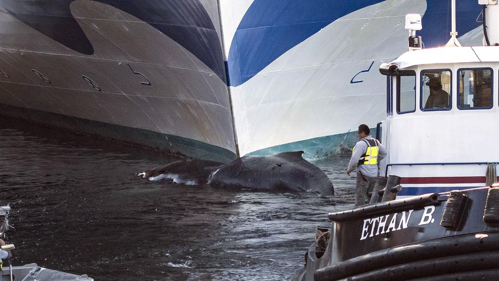 Amak Towing Company tugboat Ethan B. pulls a dead humpback whale from the bow of the Grand Princess cruise ship. Picture: Taylor Balkom/Ketchikan Daily News via AP