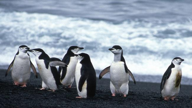 The penguins are safe. Picture: Eric Woehler/Australian Antarctic Division