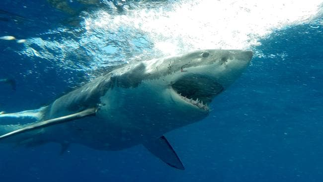 SA is one of only a handful of places on Earth where people can view great white sharks in their natural environment.