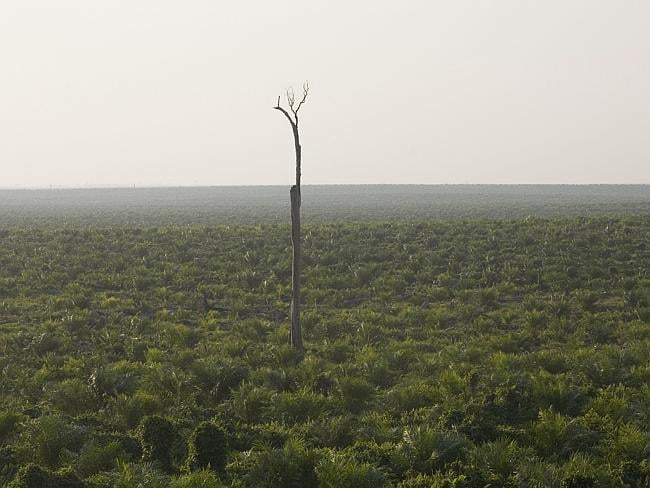 Palm oil plantation ... A lone but dead tree in a palm oil plantation in Indonesia. Picture: Greenpeace/Natalie Behring.