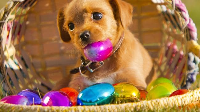 What to do if your dog cooking Easter eggs