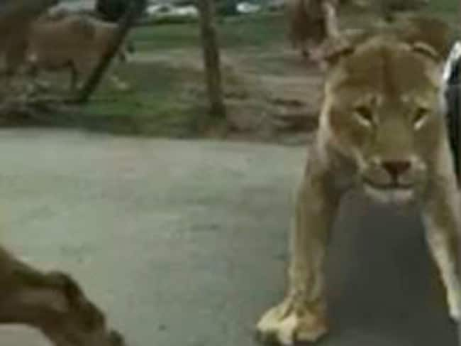 Lions charge at a car in a British safari park. Picture: Supplied