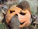 <p>Suited to the upcoming Halloween holiday, the animals' enclosure is decorated with pumpkins and delights meerkats and visitors. Picture: AFP PHOTO / WALTRAUD GRUBITZSCH</p>