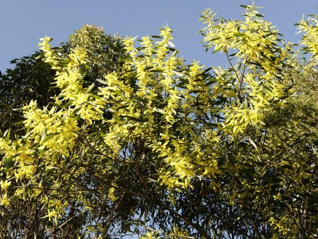 An Acacia, or Golden Wattle, in the Dharawal State Conservation Area, 35 Km North West of Wollongong. Picture: John Fotiadis
