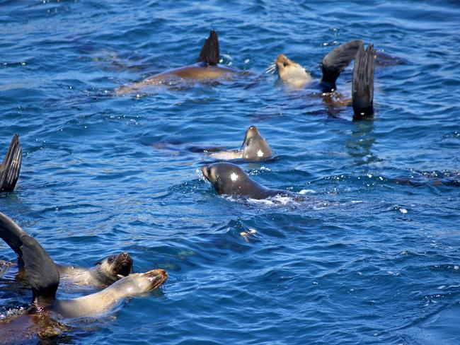 Up to 1000 fur seals are regularly spotted at Montague Island in late winter and spring.