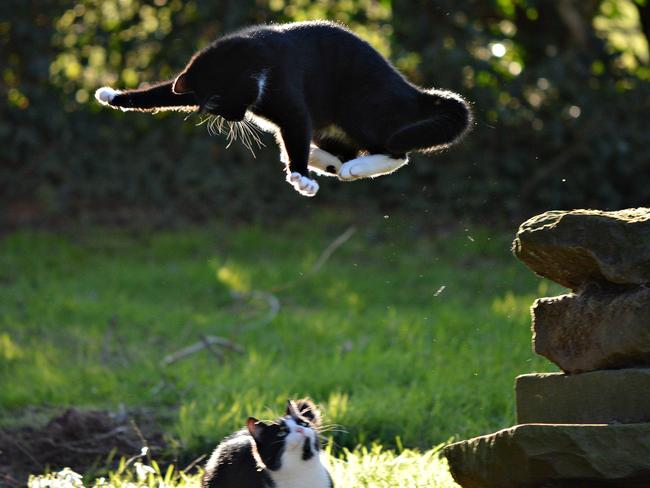 Bombs away! Photographer Heather Ross captured this crazy moment between her cats Molly and Barney (showing off his superhero skills) at Whitehouse Farm in Birmingham, England. Picture: Heather Ross/Barcroft Media/Getty Images