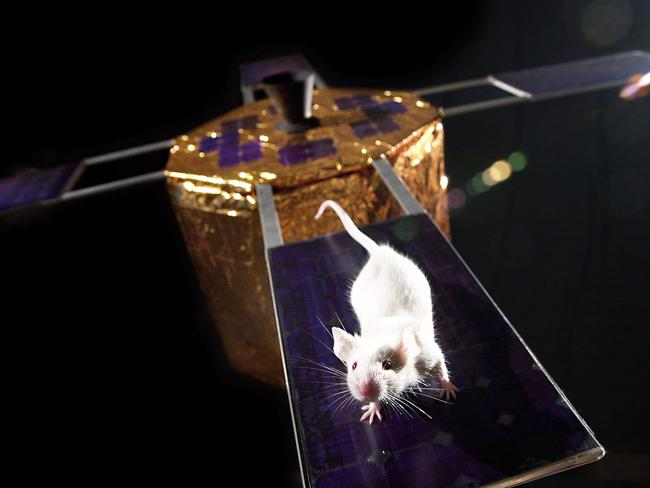 Mice are one of the commonly used animals for space experiments.