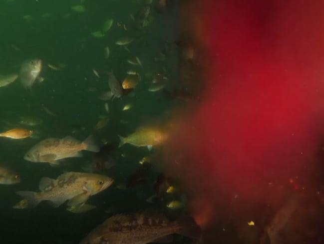 A shot from the Canadian video shows bloody effluent being pumped into a harbour full of fish
