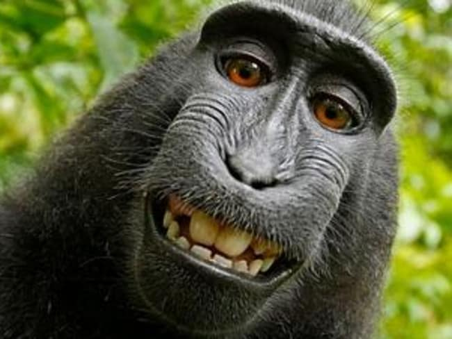 Say cheese ... Macaque monkey Naruto lives on a reserve on the Indonesian island of Sulawesi. Picture: Wikimedia/David Slater Source: Supplied