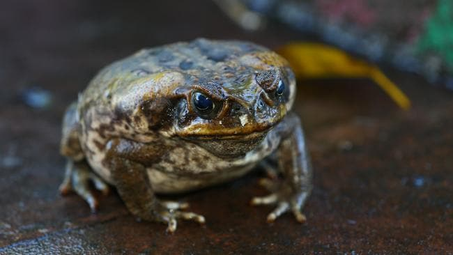 There may be a new way to stop the advance of the cane toad. Picture: David Clark