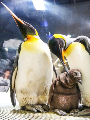 OH, BABY: King Penguin parents Cleo (left) and Bro (right) show off their chick Eggbert at Sea World Gold Coast.