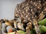 <p>A garden wolf spider carries her dozens of her babies on her back at Sydney Wildlife World.</p>