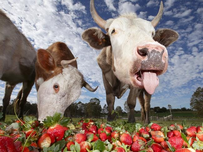 STRAWBERRY MILKSHAKES? Unseasonal weather caused strawberries to ripen early which was good news for the cattle at Campbell produce farm at Wamuran, west of Caboolture. Picture: Jamie Hanson