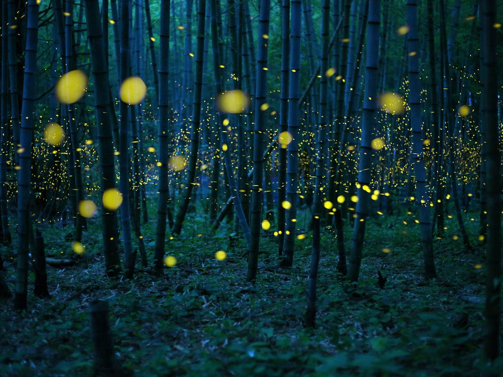 """The season of a firefly comes around in Japan at the beginning of a rainy season. This firefly is a species called Luciola parvula."" and repeats blink. Picture: Kei Nomiyama, Japan, Shortlist, Open Low Light, 2016 Sony World Photography Awards"