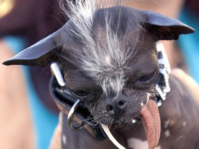 Chinese crested dog. Picture: AFP