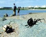 <p>A pair of black widow spiders with an egg sack (left) emerge from their spot on a river bank.</p>