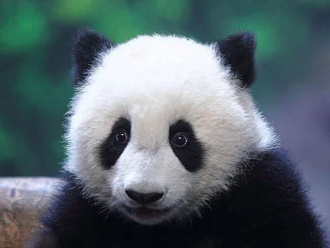 There are just 1600 giant pandas left in the wild, making them the world's most endangered animals.
