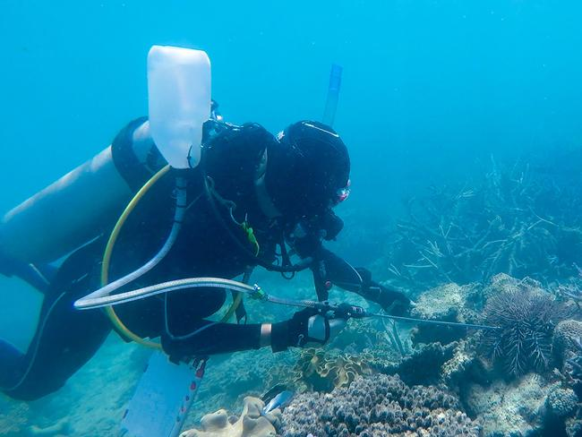 Scientists are getting on top of the Crown of Thorns starfish by simply injecting the coral-munching predators with household vinegar. Picture: James Cook University / Lisa Bostrom Einarsson