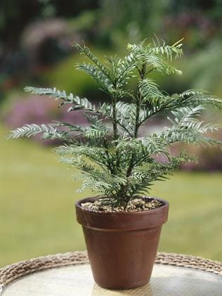 Wollemi pine in pot plant.