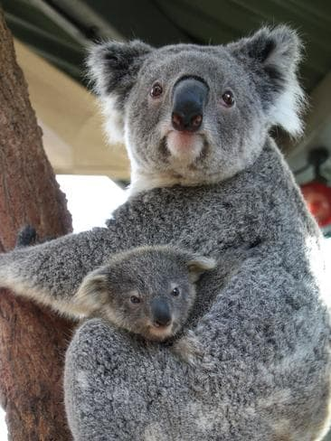 Baby koala emerges from pouch in time for Christmas at ...