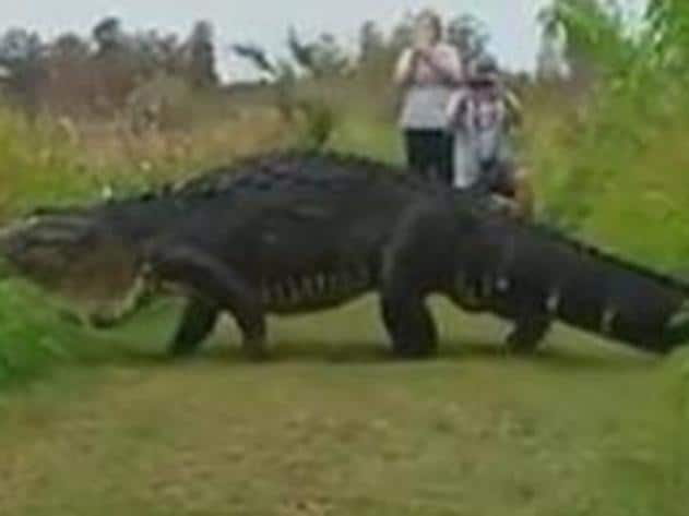 Monster gator wanders nature reserve