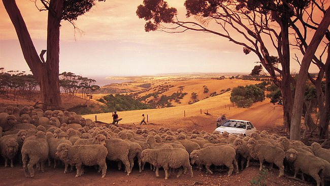 You don't mind getting stuck in this type of traffic jam Kangaroo Island. Picture: Tourism South Australia