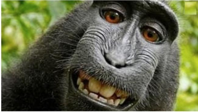 Naruto the monkey apparently took the photos of himself after coming across Mr Slater's unattended camera in a reserve on Sulawesi, Indonesia.