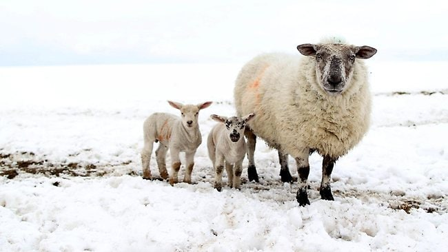 Sheep lambs cold weather snow