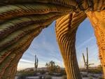 Wildlife Photographer of the Year: Saguaro twist Jack Dykinga, USA Finalist 2017, Plants and Fungi A band of ancient giants commands the expansive arid landscape of Arizona's Sonoran Desert National Monument in the US. These emblematic saguaro cacti – up to 200 years old – may tower at more than 12 metres (40 feet) but are very slow growing, some sprouting upwardly curved branches as they mature. The roots – aside from one deep tap – weave a maze just below the surface, radiating as far as the plant is tall, to absorb precious rainfall. Most water is stored in sponge-like tissue, defended by hard external spines and a waxy-coated skin to reduce water loss. The surface pleats expand like accordions as the cactus swells, its burgeoning weight supported by woody ribs running along the folds. But the saturated limbs are vulnerable to hard frost – their flesh may freeze and crack, while the mighty arms twist down under their loads. A lifetime of searching out victims near his desert home led Jack to know several that promised interesting compositions. 'This one allowed me to get right inside its limbs,' he says. As the gentle dawn light bathed the saguaro's contorted form, Jack's wide angle revealed its furrowed arms, perfectly framing its neighbours before the distant Sand Tank Mountains.
