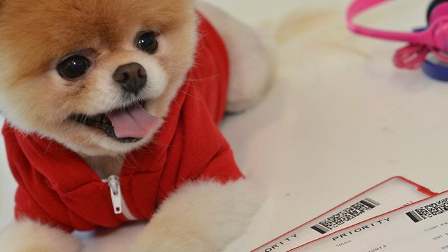 "Boo the Pomeranian is Virgin America's newest ""exectuive"". Picture: Virgin America"
