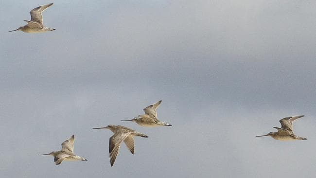Bar-tailed godwits refuel in China and Korea on their flight from Alaska to Australia. Picture: SUPPLIED