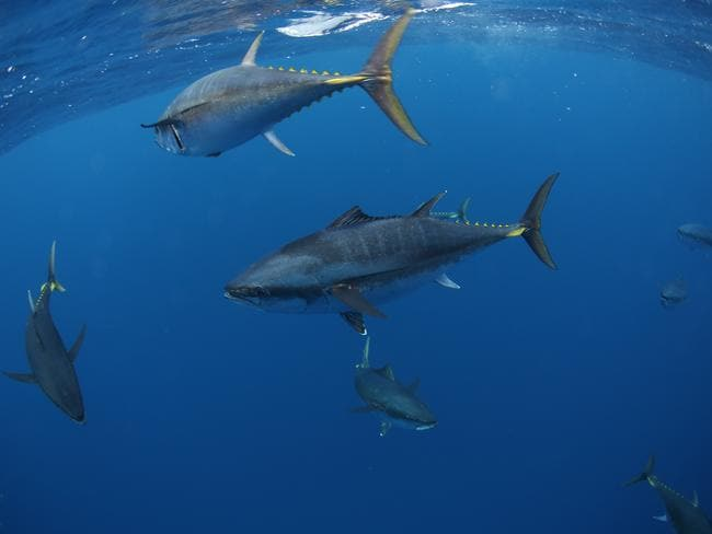 TIME magazine dubbed tank-bred tuna a crucial invention. Pictured: Yellowfin tuna.