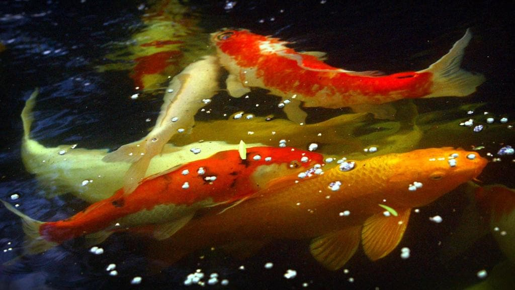 Thieves plunder elizabeth bay pond for valuable koi carp for Mini carpe koi