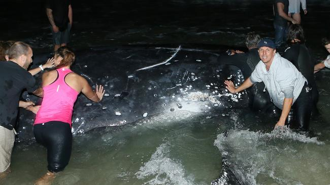 FRANTIC RESCUE: A crowd of Palm Beach locals on the Gold Coast try to push a juvenile Humpback whale back into the ocean after it stranded itself tonight. Picture: Glenn Hampson