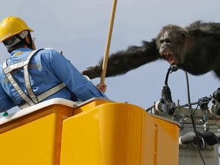 Chacha, the male chimp, screams at a worker in Sendai, northern Japan, Thursday, April 14, 2016 after fleeing from a zoo. The chimpangzee tried desperately to avoid being captured by climbing an electric pole. Chacha was on the loose nearly two hours Thursday after it disappeared from the Yagiyama Zoological Park in Sendai, the city that's hosting finance ministers from the Group of Seven industrialized nations in May. (Kyodo News via AP) JAPAN OUT, MANDATORY CREDIT