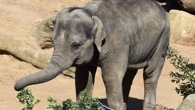 Elephant numbers are still dropping. Picture: NewsCorp Australia.